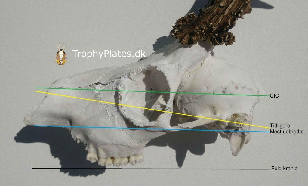 afsavning af råbuk kranie i henhold til praksis og CIC
